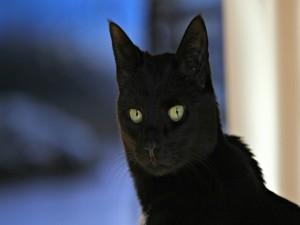 Gato negro con largos bigotes