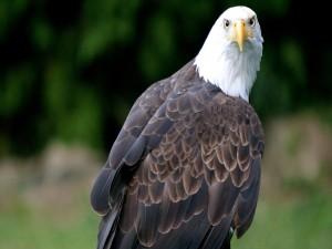 Águila posada
