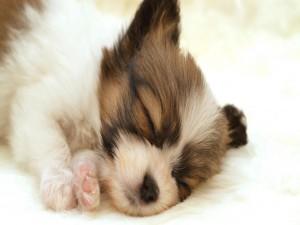 Perrito dormido en la alfombra blanca