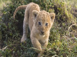 Postal: El cachorro de león se acerca