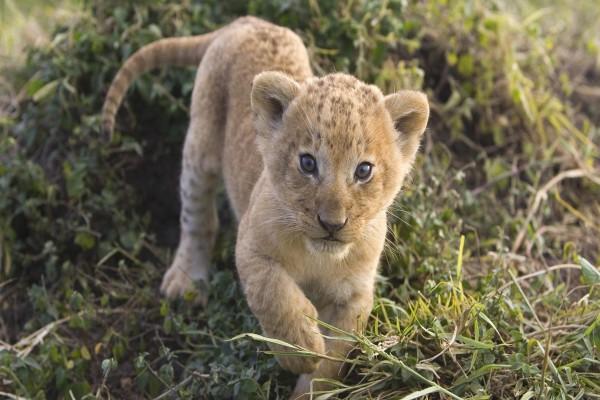 El cachorro de león se acerca