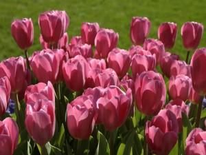Postal: Tulipanes rosas en la hierba