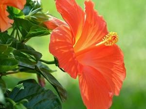 Postal: Flor naranja de hibisco