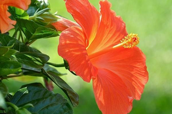 Flor naranja de hibisco