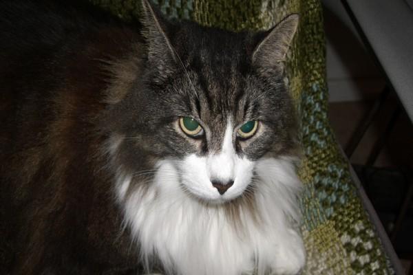 Gato precioso con las pupilas verdes