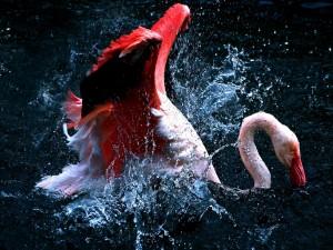 Flamenco rosa en el agua