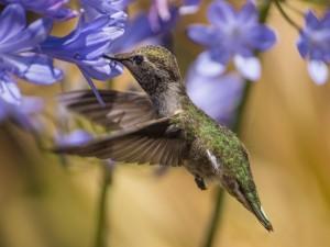 Postal: Colibrí entre flores azules