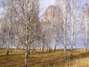 Postal: Árboles sin hojas en invierno