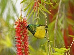 Postal: El colibrí bebiendo néctar