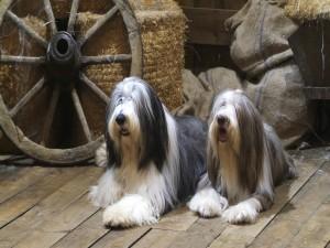 Perros con el pelo largo