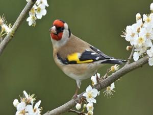 Jilguero sobre una rama con florecillas blancas