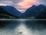 Cisne solo en el lago