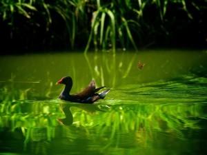 Un pato y una mariposa en un estanque