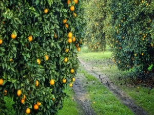 Postal: Camino con naranjos