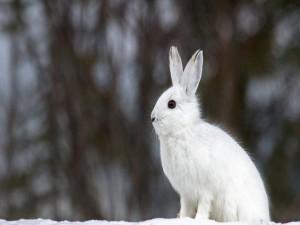 Postal: Conejo blanco en la nieve