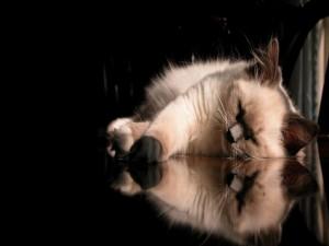 Gato dormido y su reflejo