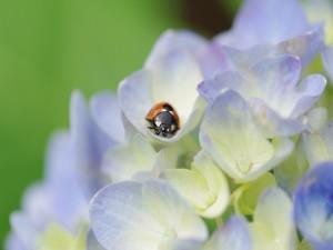 Mariquita en las flores de una hortensia
