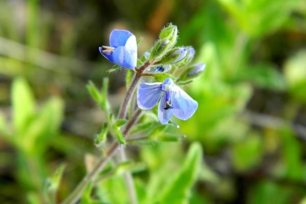 Rama con pequeñas flores azules
