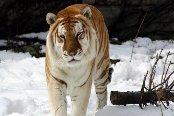 Gran tigre con ojos cansados