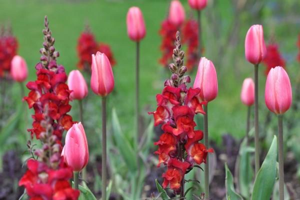 Tulipanes rosas en un jardín