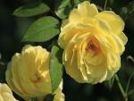Rosas amarillas en los rosales