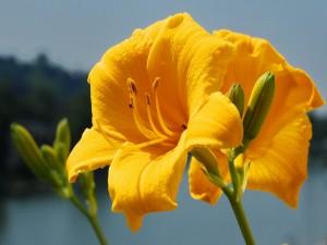 Postal: Ramas con lilium amarillos
