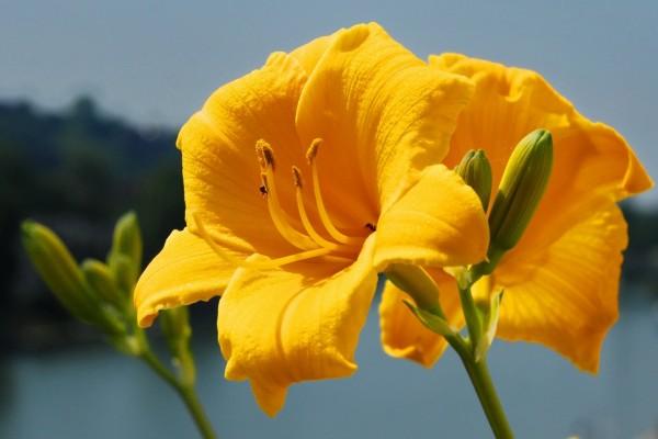 Ramas con lilium amarillos