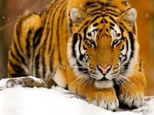Postal: Precioso tigre en la nieve