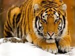 Precioso tigre en la nieve