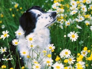Postal: Perro entre margaritas
