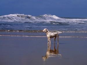 Postal: Dálmata solo en la playa