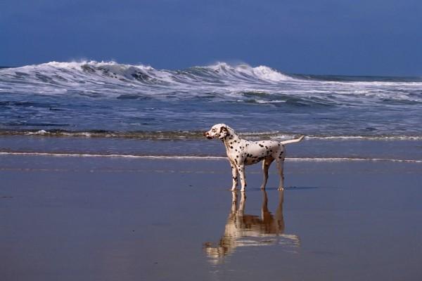 Dálmata solo en la playa