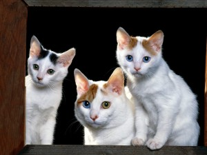 Postal: Gatos con ojos de varios colores