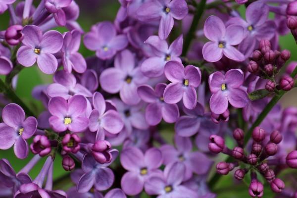Conjunto de pequeñas flores lila