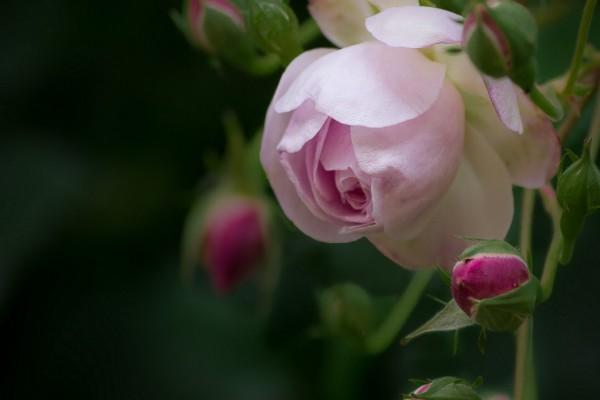 Rosa en la planta