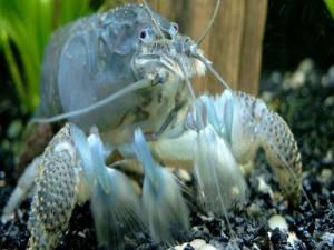 Un crustáceo en el agua