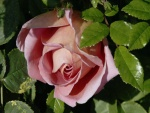 Rosa entre hojas verdes