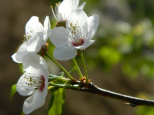 Rama con un grupo de flores blancas
