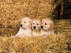 Perros en la paja