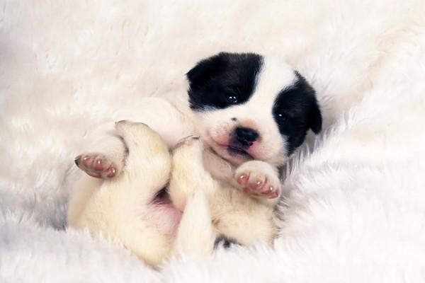 Perrito en la alfombra blanca