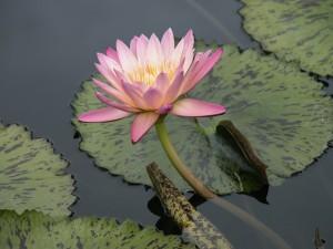 Postal: Flor de nenúfar y hojas en el agua