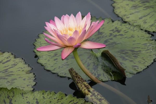 Flor de nenúfar y hojas en el agua