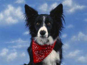 Postal: Perro con un pañuelo rojo