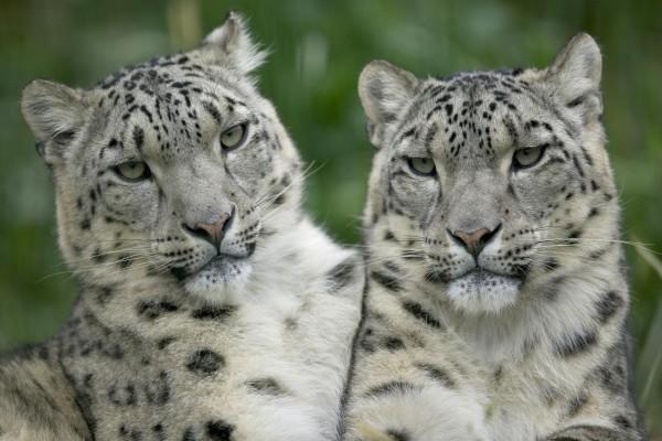 Tigres blancos jóvenes