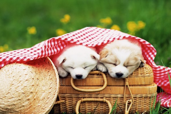 Perritos de picnic