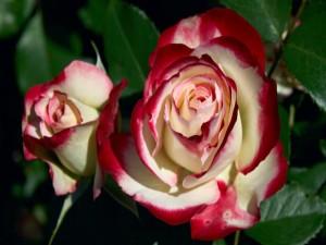 Postal: Rosas de dos colores
