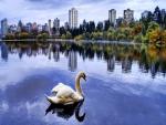 Cisne en el parque de la ciudad