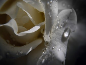 Postal: Pétalos de rosa blanca con gotas de agua
