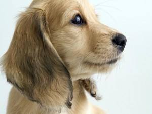 Postal: Perro de perfil