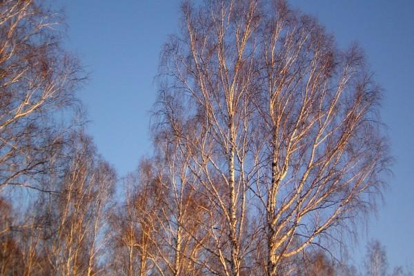 Árboles sin hojas y el cielo azul